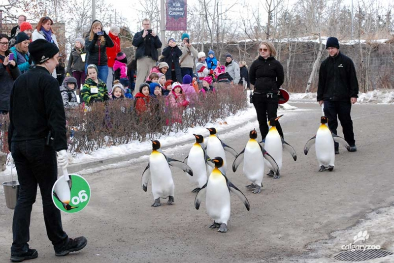 Watch The Calgary Zoo S King Penguins Waddle During The Penguin Walk Avenue Calgary