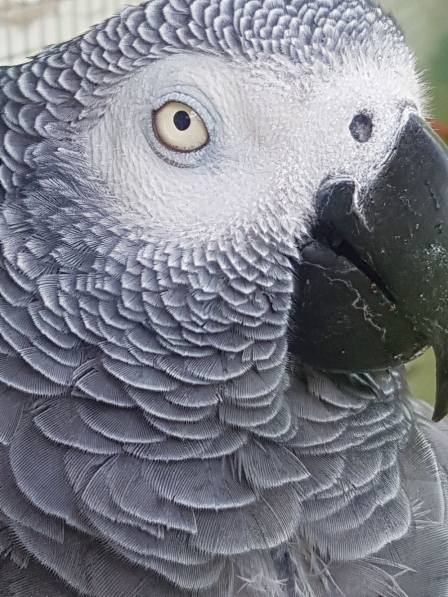 Quentin the Congo African Grey Parrot is often used by Robin Horemans to demonstrate a new behaviour or skill for the students at the Calgary Bird School.