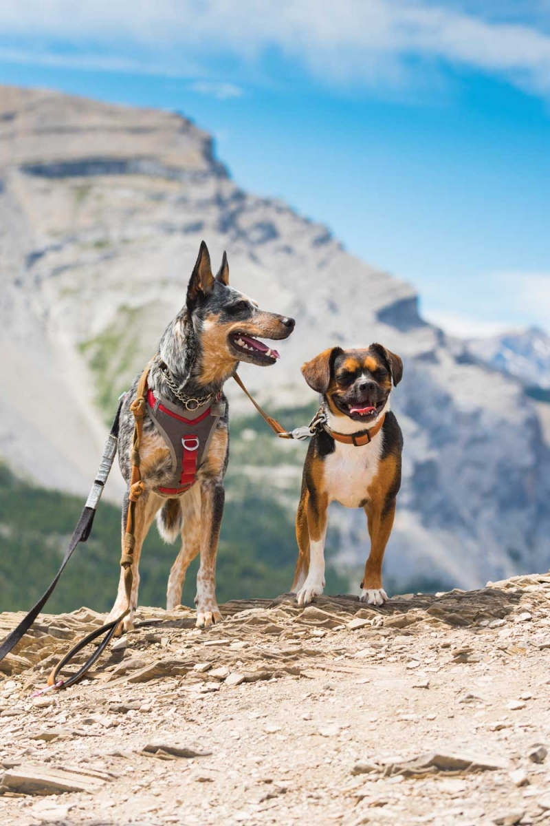 Canine hikers on the Nihahi Ridge trail in Kananskis Country.